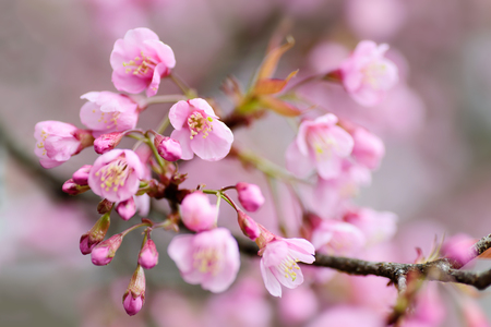 Beautiful cherry blossom flower in Chiangmai, Thailand Stock Photo