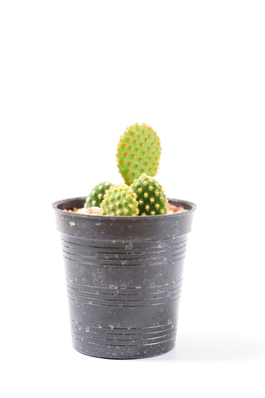 Cactus in small pot isolated on white background, decoration plant