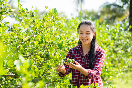 Asian young woman farmer picking lime fruit on plant in organic farm