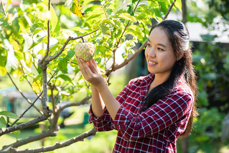 Asian young woman farmer picking sugar apple fruit in orchard