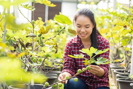 Asian young woman farmer picking fig fruit in organic farm