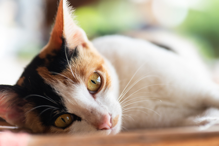 Close up of tricolor cat lay down on the mat, pet at home Stock Photo
