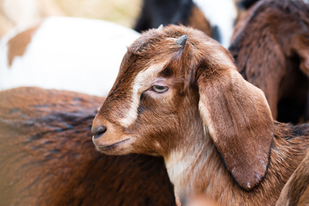 Baby brown goat in the farm Stock Photo