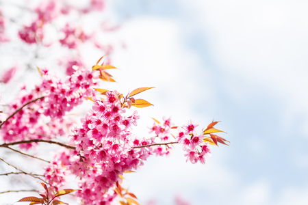 Pink cherry blossom and sky in spring season