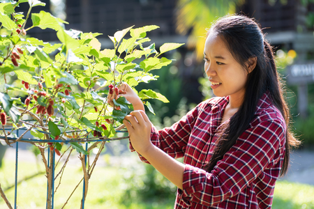 Asian woman farmer picking mulberry fruit Stock Photo