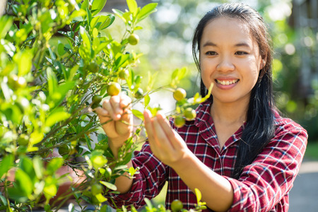 Asian woman farmer picking orange fruit on tree