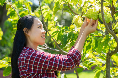 Asian woman farmer picking sugar apple fruit in orchard