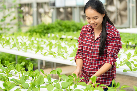 Asian woman farmer harvesting vegetable in hydroponic farm
