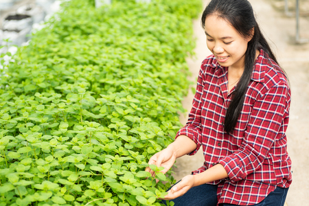 Asian woman farmer picking pepper mint leaf in vegetable garden