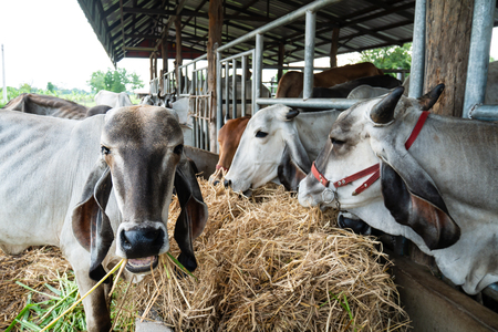 Cow eating rice straw in the farm, livestock in Thailand Stock Photo