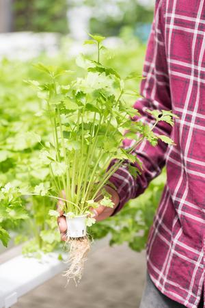 Farmer harvesting coriander plant in vegetable hydroponic farm