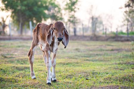 Brown calf walking in grazing, livestock in Thailand Imagens