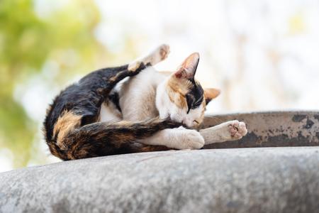 Tricolor cat licking itself, cat grooming Stock fotó