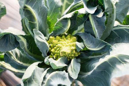 Close up of romanesco cauliflower growing in organic vegetable garden