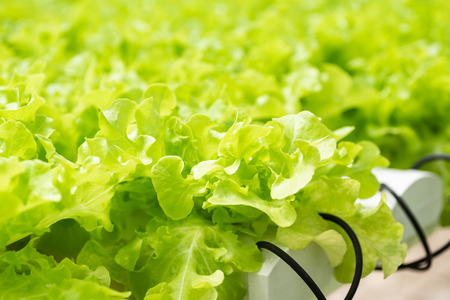 Green oak (lettuce plant) growing in vegetable hydroponic farm Zdjęcie Seryjne