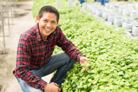 Asian farmer picking mint leaf in vegetables farm
