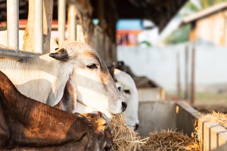 Cow eating rice straw in the farm, livestock in Thailand Zdjęcie Seryjne