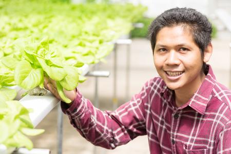Asian farmer harvesting vegetable in vegetable hydroponic farm