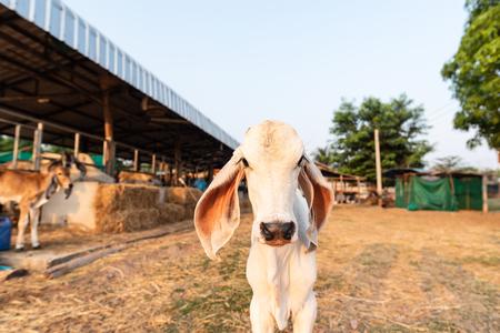 White calf in the farm, livestock in Thailand