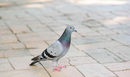 Pigeon on the floor
