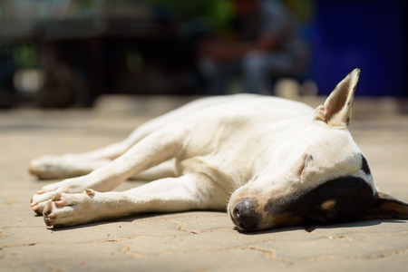 Bull terrier dog sleeping on the floor