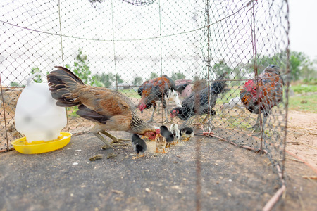 Feeding hen and chick in cage, livestock in Thailand