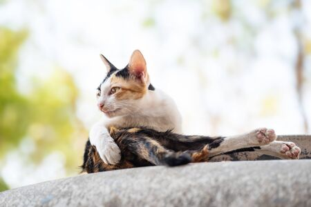 Tricolor cat sitting and relaxing in outdoor