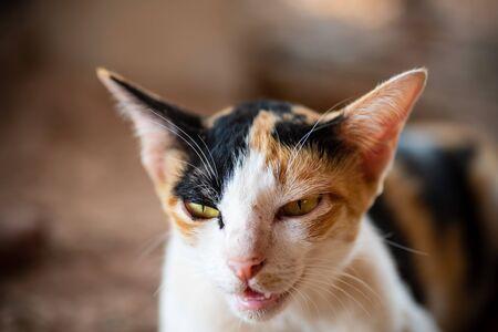 Close up of tricolor cat face, cute pet Zdjęcie Seryjne