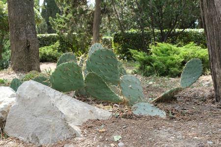 Park in Foros, various cacti. Crimea nature. Foto de archivo