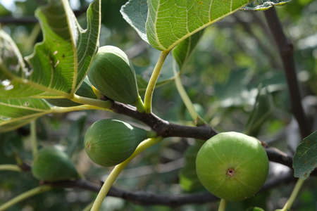 Ripe green figs on a branch. High quality photo