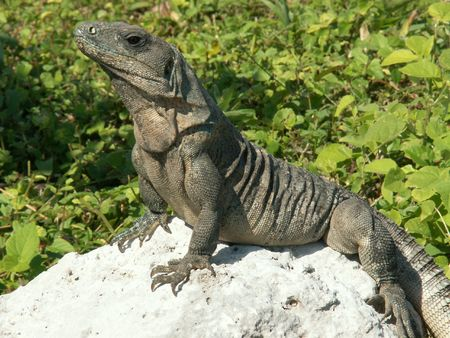 earthly: Iguana