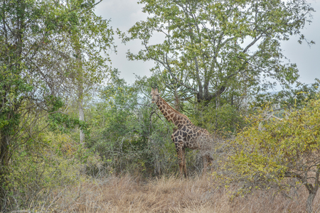 African Giraffe on middle of vegetation day cloud sky