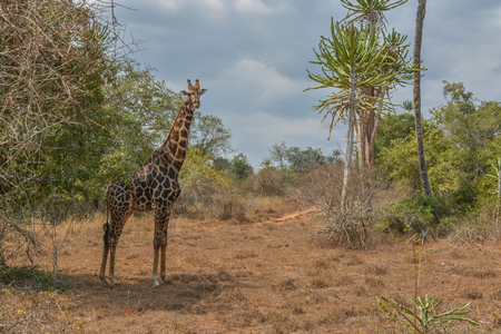 African Giraffe on middle of vegetation_ day cloud sky