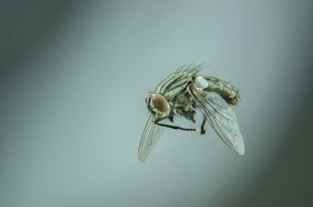 single black fly flying in home - detailed insect