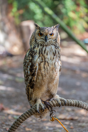 Detailed view of Horned owl, Indian eagle-owl, Bubo bengalensis...