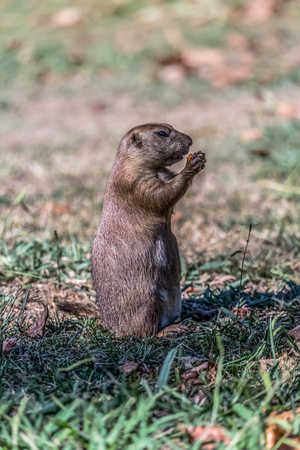 Detailed view of a single funny rodent, prairie dog, genus Cynomys, on park grass