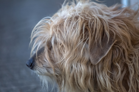 View of domestic dog without a determined breed, hairy and very funny and expressive