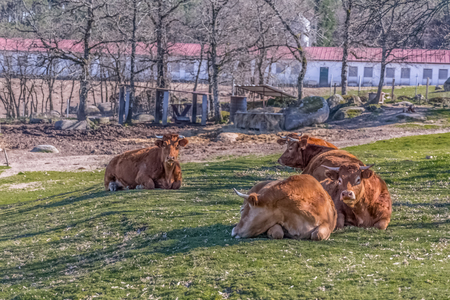 View of cows lying on the green pasture on farm, Portugal