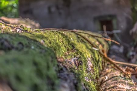 View of trunk in perspective, with moss detail in focus, house window as background