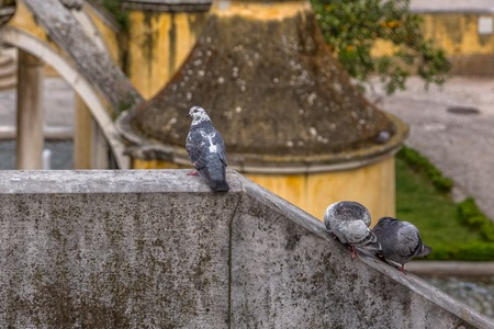 Detailed view of urban doves on Belvedere wall, in Coimbra city, Portugal Фото со стока