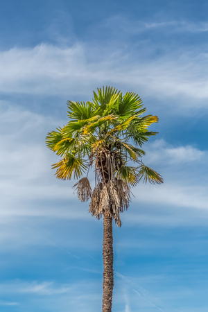 Detailed view of a palm tree with blue sky with clouds, Portugal