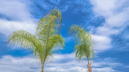 Detailed view of a palm trees with blue sky with clouds, Angola