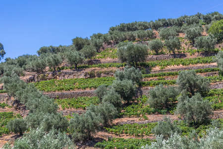 Typical landscape of the highlands in the north of Portugal, levels for agriculture of olive tree groves and vineyards...