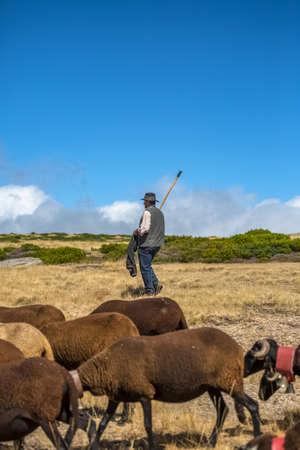 Seia / Serra da Estrela / Portugal - 08 15 2020: View of a shepherd man herding a group of mountain sheeps grazing in the field, on the Serra da Estrela mountains 免版税图像