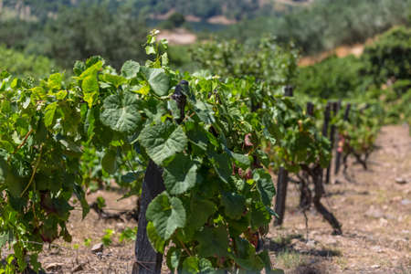 Detailed view of agricultural fields with vineyards, typically Mediterranean, in Portugal... 免版税图像