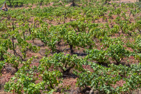 Detailed view of agricultural fields with vineyards, typically Mediterranean, in Portugal