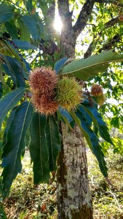 Chestnut tree with the sunshine Stock Photo
