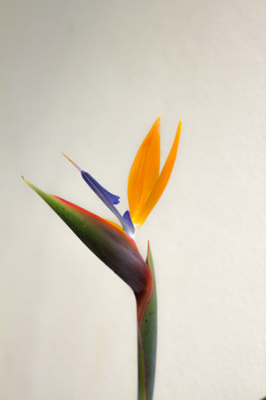 lance shaped: Macro of Strelitzia reginae flower, also known as crane flower or bird of paradise