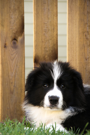 border collie puppy: Border Collie puppy laid on the grass with wood on the background
