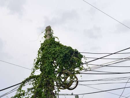 harm: Ivy growing vegetation along power pole on unkempt cause harm.